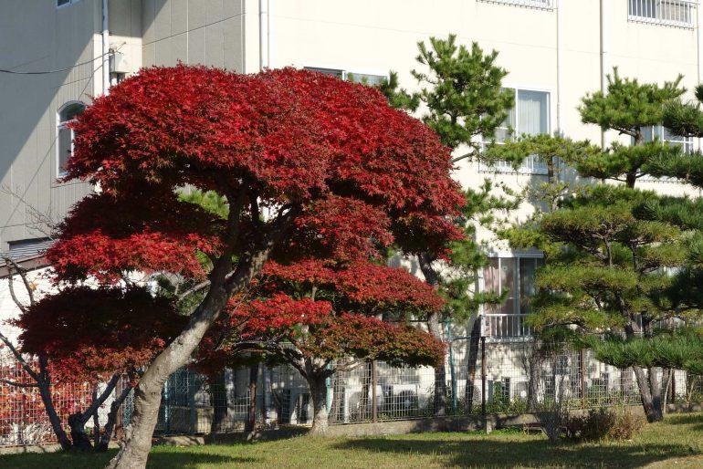 パレス松洲敷地入口の紅葉