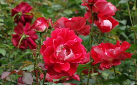 円通院の薔薇