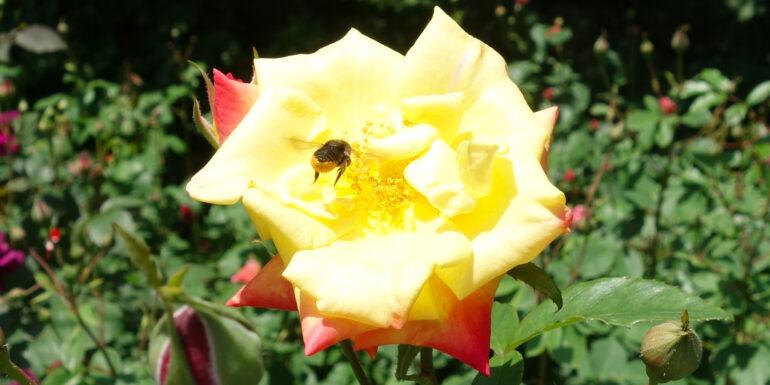 円通院 バラ園の薔薇とみつばち