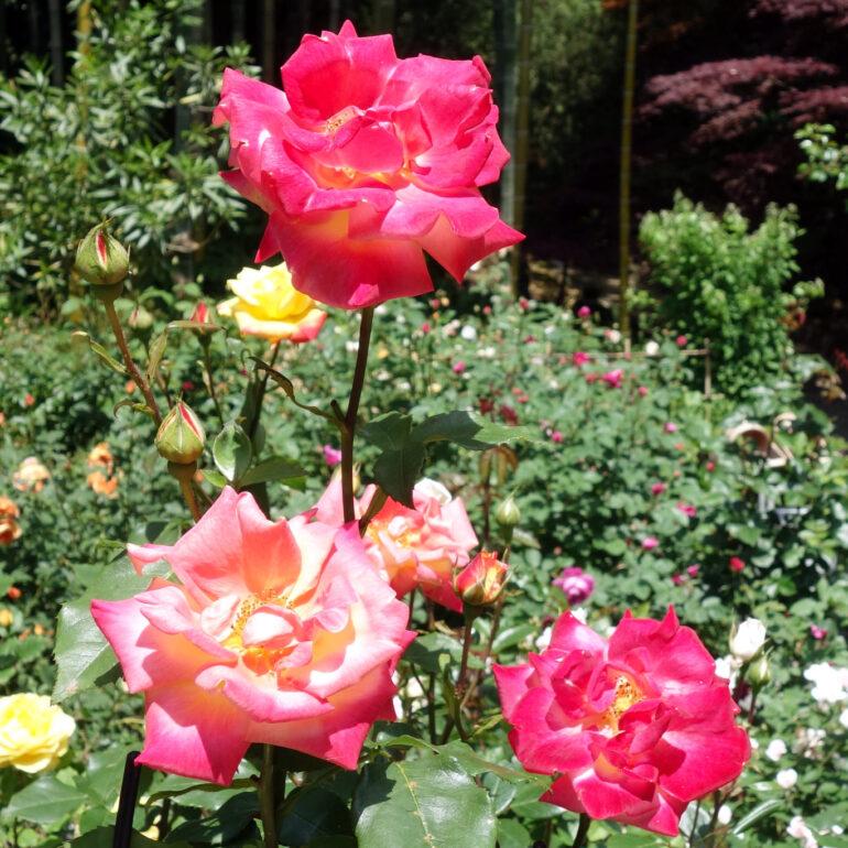 円通院 バラ園の薔薇