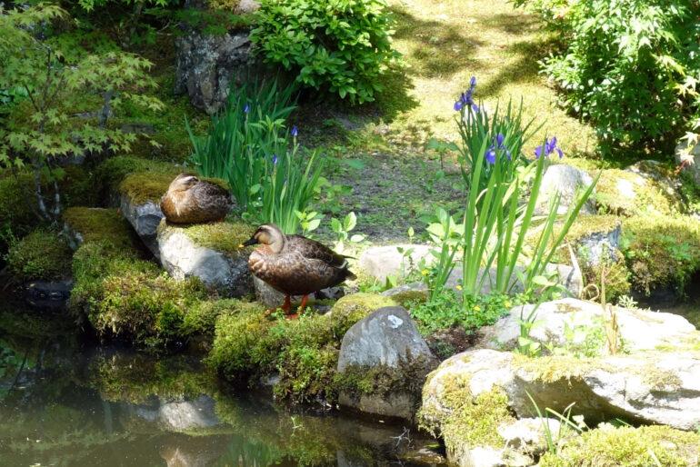 心字の池の鴨
